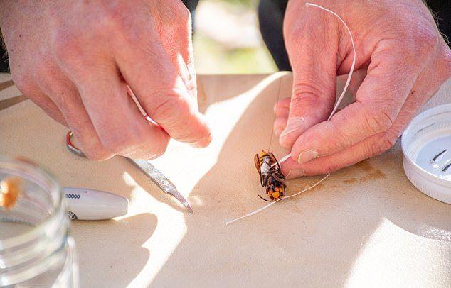 科學家在被捕獲的大黃蜂身上安裝感應器,等牠們回到巢穴,以追蹤大黃蜂巢穴。WSDA圖片