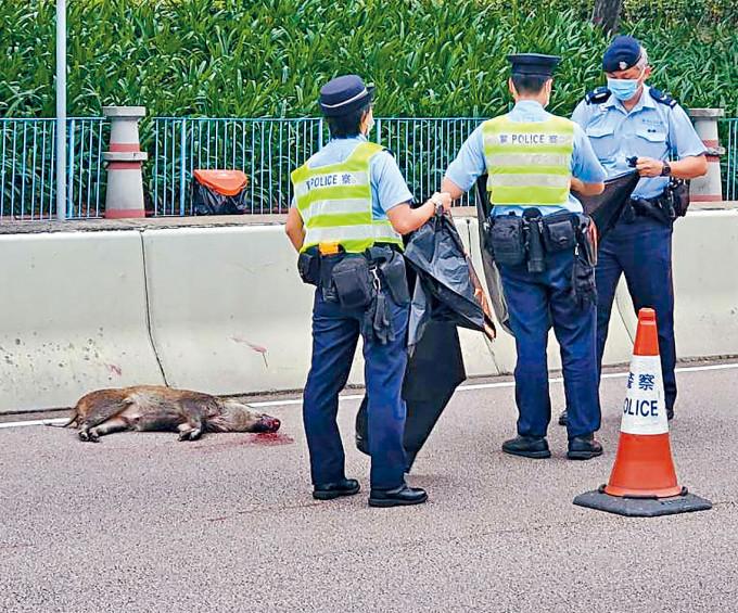 野豬被汽車撞死,警員用膠布蓋屍。