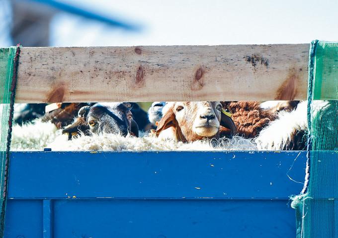 蒙古國四千頭羊昨天運抵中國。