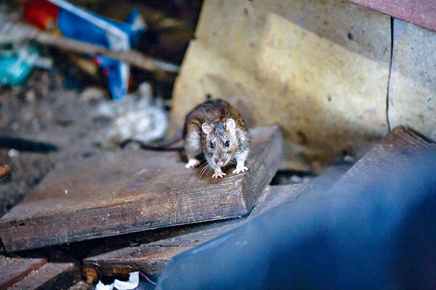 鼠患一直是困擾紐約人的環境問題之一。Stephen Speranza/紐約時報