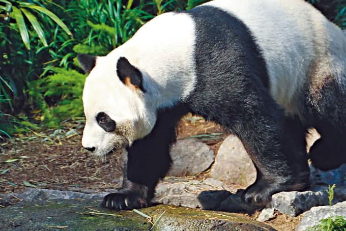 熊貓「大毛」在卡爾加里動物園。