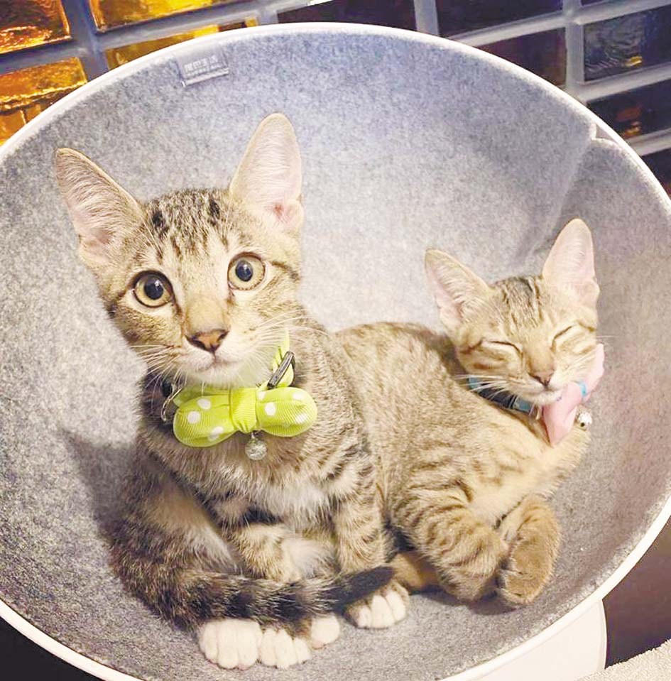 賈靜雯領養的兩隻小貓