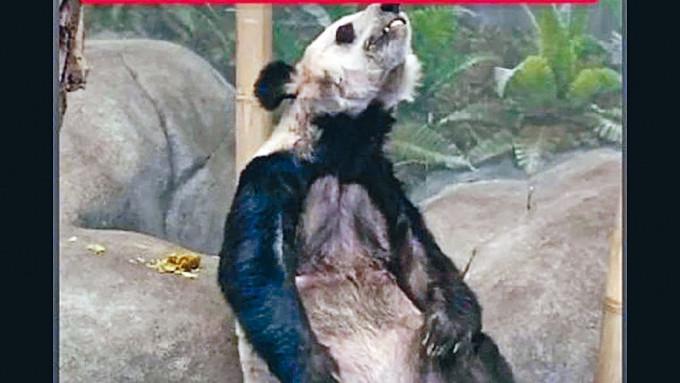 在孟菲斯動物園的大熊貓丫丫瘦骨嶙峋。
