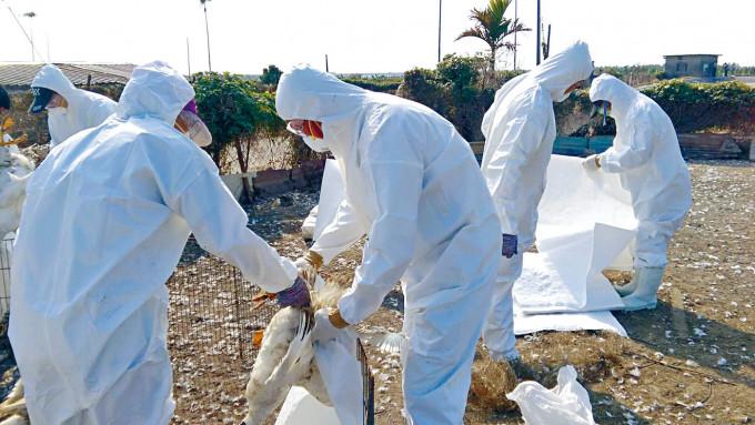 台灣屏東一個鴨場四年前曾出現H5N8禽流感。