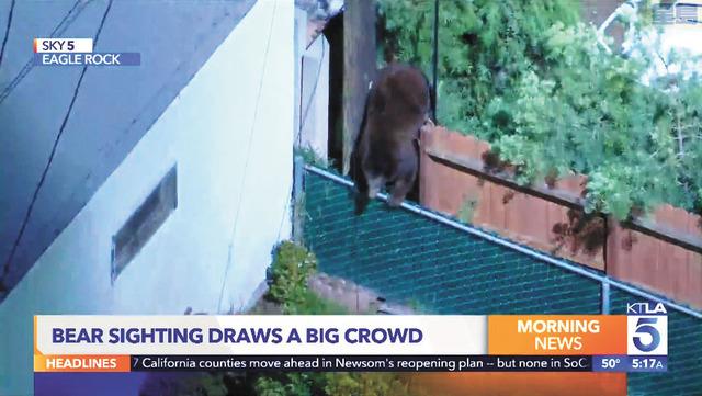 洛杉磯鷹石區深夜出現黑熊逛大街跨越住家圍牆,引起附近居民圍觀。KTLA5