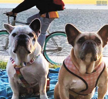 知名歌手Lady Gaga兩隻法國鬥牛犬遭竊,曾懸賞50萬盼民歸還。Instagram