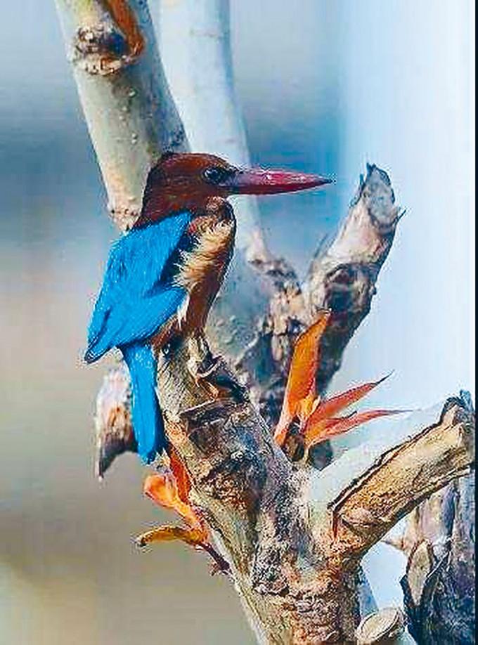 國家重點保護動物白胸翡翠鳥。