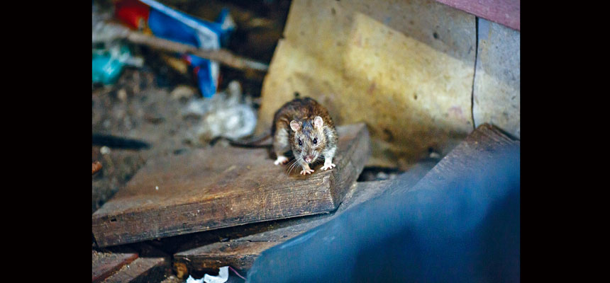 上月311熱線的囓齒類動物投訴激增了80%。Stephen Speranza/紐約時報