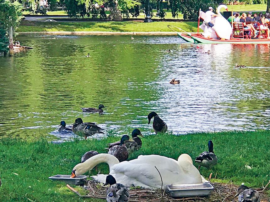 2018年6月22日,波士頓公園湖邊棲息的天鵝和湖中天鵝船相映成趣。溫友平攝影