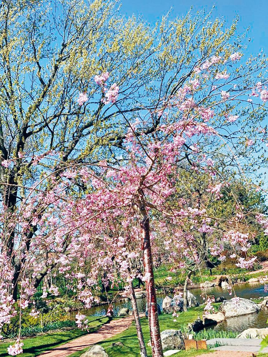 傑克遜公園近日櫻花盛放,人們趁著春色宜人,到公園觀賞櫻花與享受美好的春日。梁敏育攝