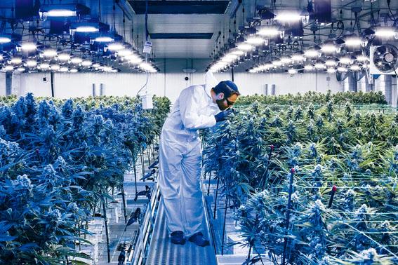 專家估計,大麻將成為紐約一個價值數十億元的產業。Bryan Anselm/紐約時報