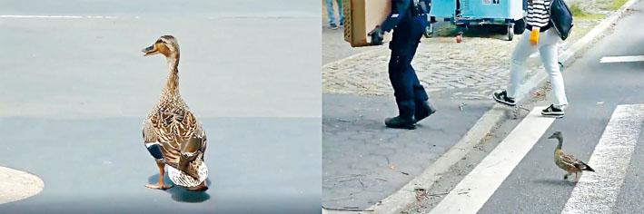 鴨子家庭最後安全回到中央公園。推特圖片