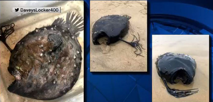 長相怪異的深海魚罕見出現在南加州岸邊。NBC 4