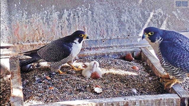 遊隼雛鳥誕生。掠奪性鳥類研究小組