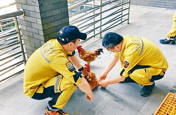 誘捕金錢豹的雞隻。