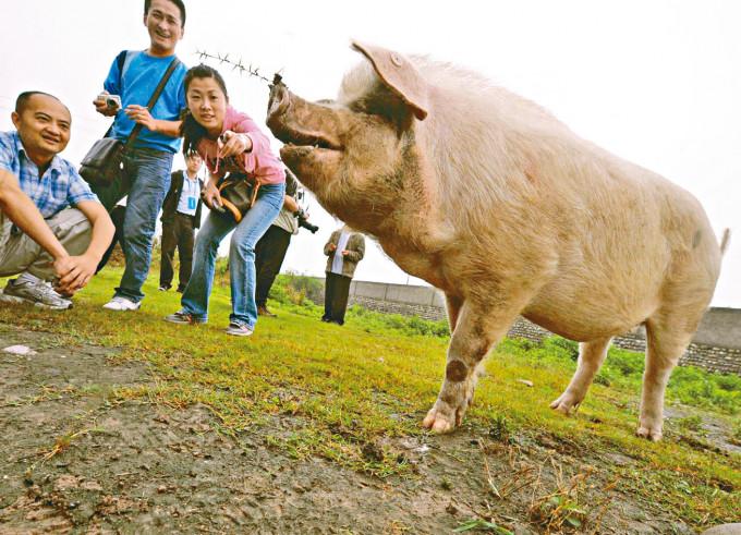汶川大地震獲救的「豬堅強」一度成為明星豬。