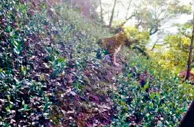 網民在住宅附近發現豹子。