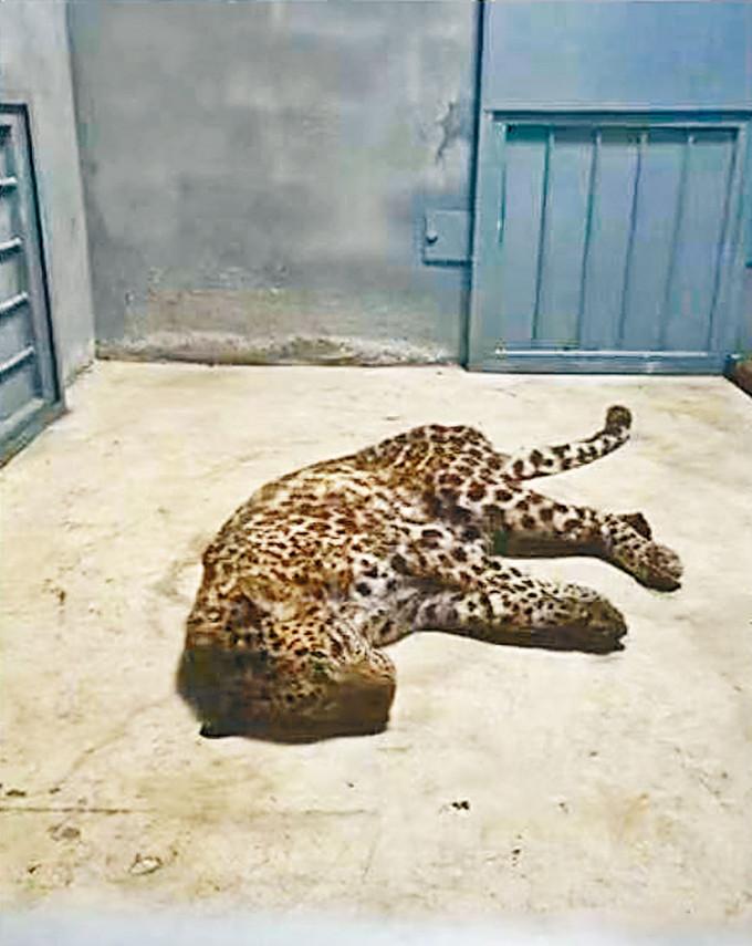 被捉回的其中一隻金錢豹。