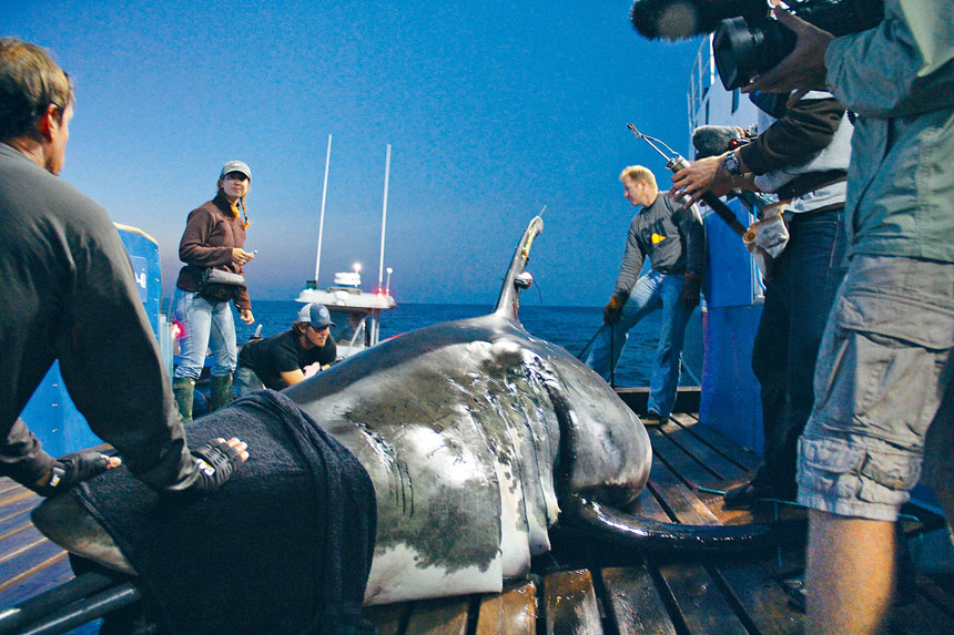 Ocearch研究基金會一直追蹤東岸鯊魚,包括怪物級巨鯊「瑪麗李」。推特圖片