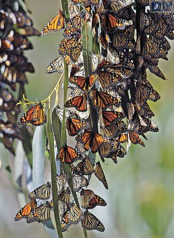 保育團體希望種植3萬棵乳草挽救帝王斑蝶。美聯社資料圖片