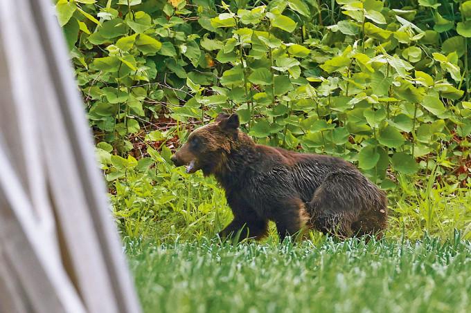 黑熊在札幌市中心一處草地休息。
